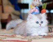 Edle Britisch Langhaar Kitten in