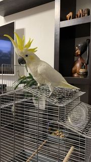 Weiße Kakadu