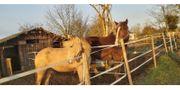 Pferdemist Pferdedung Naturdünger