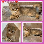 Reinrassige Bkh Kitten Auszugsbereit