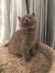 Schönes Britisch Kurzhaar-Kätzchen benötigt ein