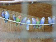 Junge Agaporniden Rosenköpfchen günstig abzugeben
