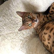 Bengalkatze sucht dringend ein neues