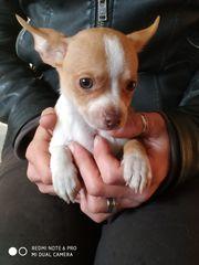 Chihuahua von Bergen auf RÜGEN