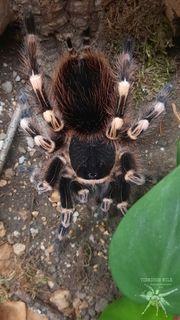 Acanthoscurria geniculata 0 1 adult
