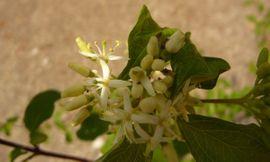 Bild 4 - Ahorn Hartriegel Baum Busch Pflanzen - Sinsheim