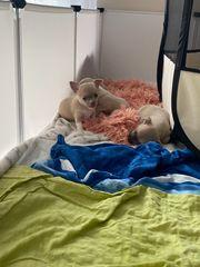 Update Chihuahua Welpen abzugeben
