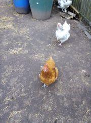 dringend 6 hühner abzugeben