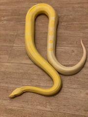 Boa CI Albino motley 0