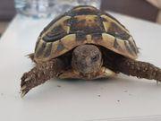 griechische Landschildkröten 2 Stück geb