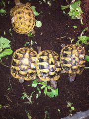 Griechische Landschildkröten Nachzucht