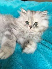 Baby Katze zu verkaufen