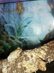 Grauer Laubfrosch lat Hyla versicolor