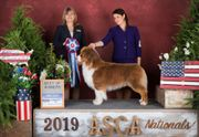 Australian Shepherd Deckrüde mit ASCA