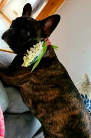 Französische bulldogge sucht neu zuhause