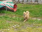 Zauberhafter Mini Chihuahua sucht Kuschelplatz