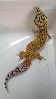 Blood Emerine Leopardgecko Männchen