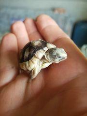 Landschildkröte Breitrandschildkröten Schildkröte