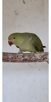Halsbandsittich graugrün oliv Männchen