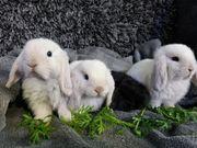 Mini Lop NHD Zwergkaninchen Babys