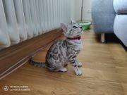 Bengal Kitten silber weiblich - Gentests