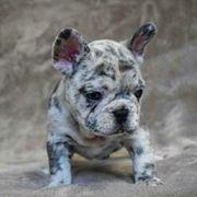 Französische Bulldoggen Welpen noch