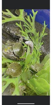 Wasserschildkröten Babys caribische Schmuckschildkröte