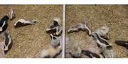 Skunk Stinktiere