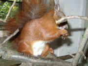 Eichhörnchen Europäisches Eichhörnchen von 2021