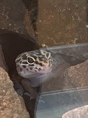 Leopardgecko inkl Terrarium