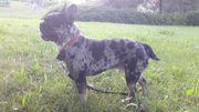 sportliche Französische Bulldogge black tan