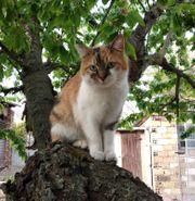 Katze Tigrie 4 Jahre geimpft