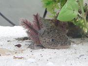Axolotl Jungtier Wildling zu verkaufen