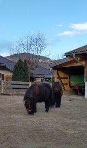 2 Kinderliebe Shetland Pony Stuten