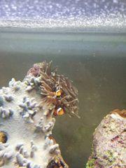 Anemone Meerwasser