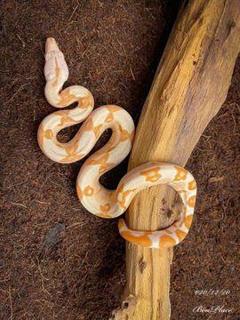 Reptilien, Terraristik - 1 0 20 Boa Constrictor