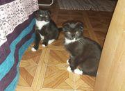 Süsse BKH Kitten
