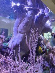 Lederkoralle Koralle XXXXL