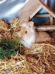 Kaninchen Hase Löwenkopf Zwergkaninchen männlich