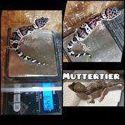 0 1 Leopardgecko