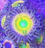 Korallen Ableger SPS LPS Weichkorallen
