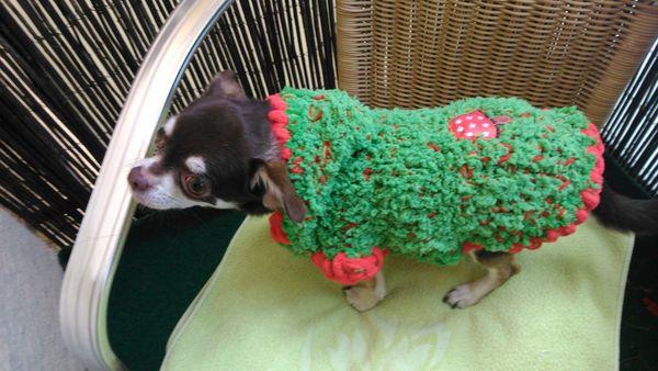 Dicker Chihuahua Hundemantel mit KLettverschluß
