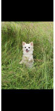 Wir suchen eine kleine Chihuahua