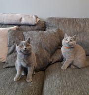 BKH Kätzchen reinrassige Blau