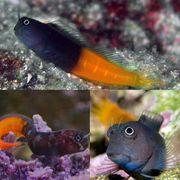 Meerwasser Ecsenius bicolor