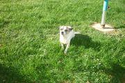 Chihuahua Hunde