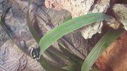 Dendrobate auratus