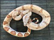 Boa constrictor Hypo DH Snowglow