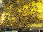 Verkaufe starke Bienenvölker nach Auswinterung