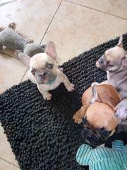 Französische Bulldogge Welpen suchen Dosenöffner